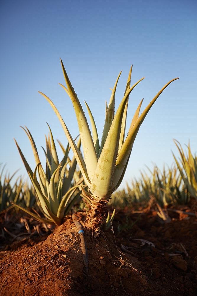 Aloe Pflanze